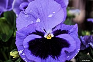 28Apr2013_1a_Wild-West-Bakery_Blue-Pansy