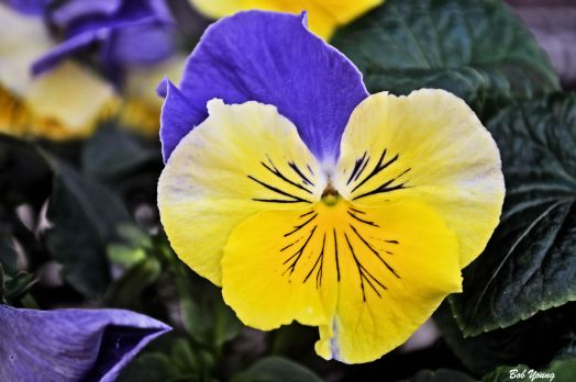 Pansy's greet you at the front door. They are beautiful.