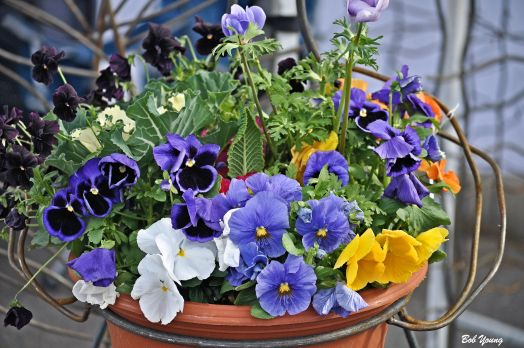 Potted flowers. Here are some Pansy's.