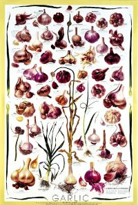 Graphic-Garlic-Types