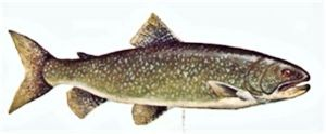 Brown-Trout-2