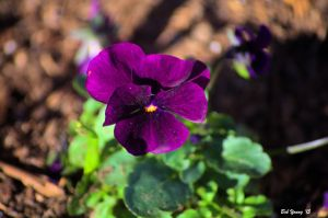 20Mar2015_1c_Garden-Spring-Flowers_Purple-Viola