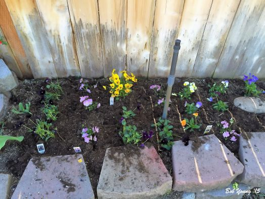 Violas  that were just planted. Edible and pretty.