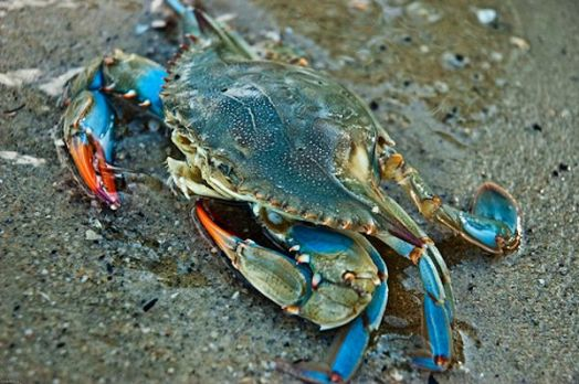 This is an East coast Blue Crab.