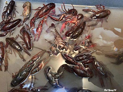 Purging crayfish!