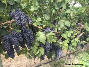21sept2016_1_parma-ridge_grapes-on-vine